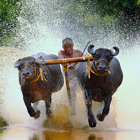 cattle, sports, adventure, nature, animals by Ramesh Kallampilly - News & Events Entertainment
