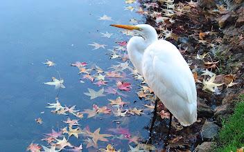 Photo: White Egret, AT&T Lake
