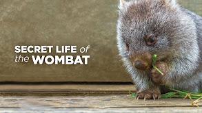 Secret Life of the Wombat thumbnail