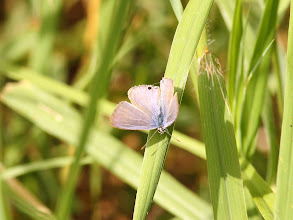 Photo: Pea Blue - Lampides boeticus