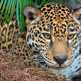 by Shelly Wetzel - Animals Lions, Tigers & Big Cats ( jaguar )