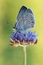 Photo: Polyommatus amandus, Azuré de la jarosse, Amanda's Blue  http://lepidoptera-butterflies.blogspot.com/