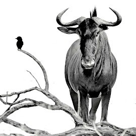 The Birdie and the Beest by Pieter J de Villiers - Black & White Animals