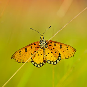 Butterfly by Asep Bowie - Animals Other