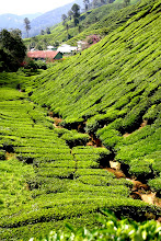 Photo: Year 2 Day 115 -  A River of Tea Bushes