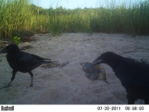 Photo: crows eating otter leftovers