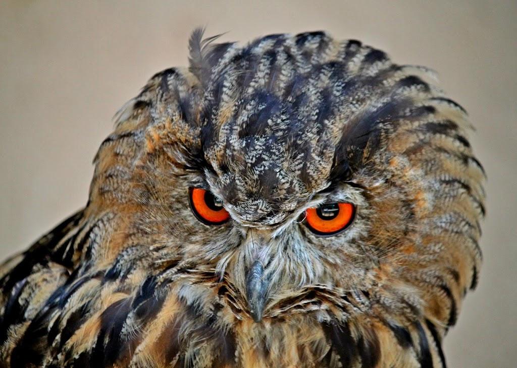 Descargar Eagle Owl Wallpaper Hd Apk última Versión 10 Para