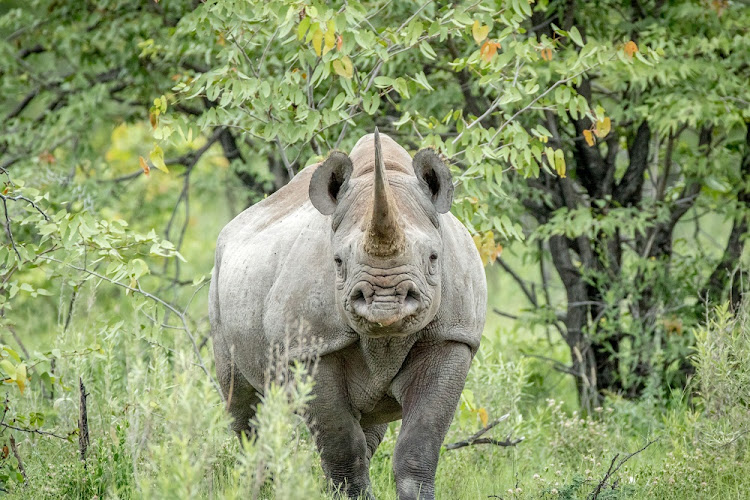 A black rhino stares at the camera at Etosha National Park, Namibia. Picture: 123RF/SIMON EEMAN