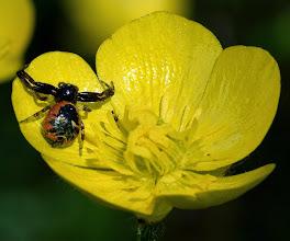 Photo: Ranunculus macrophyllus