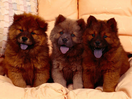 Chow Chow Pack 2 Wallpaper
