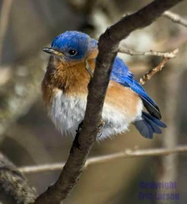 Bluebirds Favorite Winter Treat
