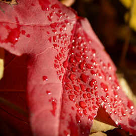 Drops by Nasr Qureshi - Nature Up Close Leaves & Grasses ( red, drops, nasrqureshi, fallen, fall colors, leaves, leaf,  )