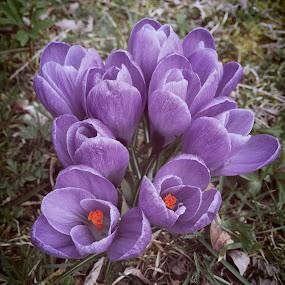 Frühlingsboten by Helga Be - Flowers Flowers in the Wild ( krokus )