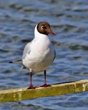 Photo: Black Headed Gull