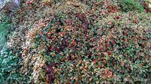 Photo: Gaultheria - din Piata 1 Decembrie 1918 - spatiul verde - 2014.10.12 album http://ana-maria-catalina.blogspot.ro/2016/04/gaultheria.html