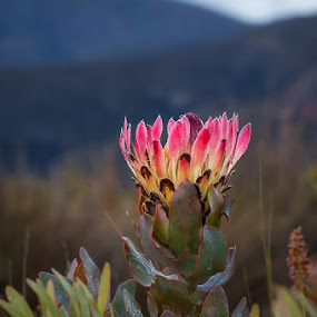 Protea eximia by Joggie van Staden - Flowers Flowers in the Wild ( plant, plants, protea, floral, flower )