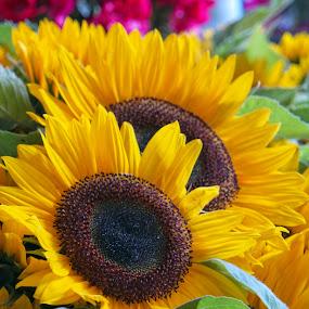 Sunflowers by Anita Elder - Flowers Flower Arangements ( arrangement, flowers, yellow, sunflowers, brown )