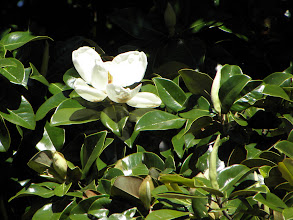 Photo: A magnolia flower