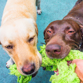 Tug Time by Meaghan Browning - Animals - Dogs Playing ( friends, dogs, pointer, labrador, tug )