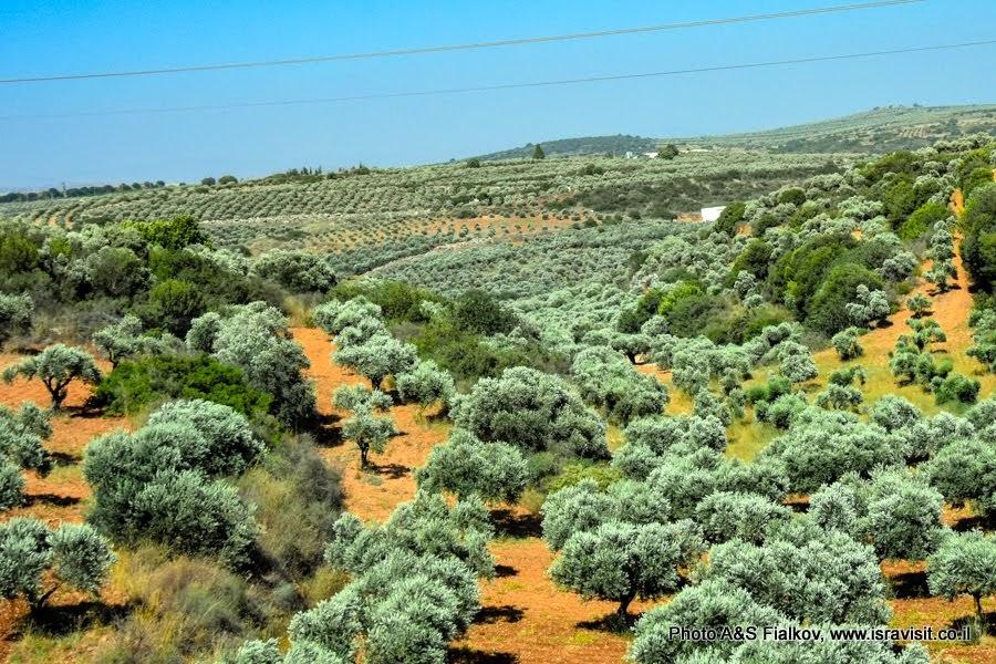 Пейзаж с оливковой рощей. Экскурсия в Галилее. Израиль.
