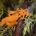 Rust Fungus