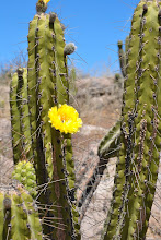 Photo: San Pedro cactus, Peru.  Edible and some of the extracts from it are basically mescaline.  Peru coastal uplands.