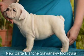 Photo: +380677593178 Анна New Carte Blanche Slavianskiy Idol (сука) http://www.bulldogpedigree.com/virtuallitterRu.jsp?padre=7653&madre=16089&B1=%D0%93%D0%B5%D0%BD%D0%B5%D1%80%D0%B8%D1%80%D0%BE%D0%B2%D0%B0%D1%82%D1%8C+%D1%80%D0%BE%D0%B4%D0%BE%D1%81%D0%BB%D0%BE%D0%B2%D0%BD%D1%83%D1%8E