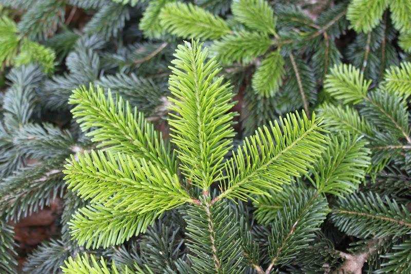 Aghi di pino di c