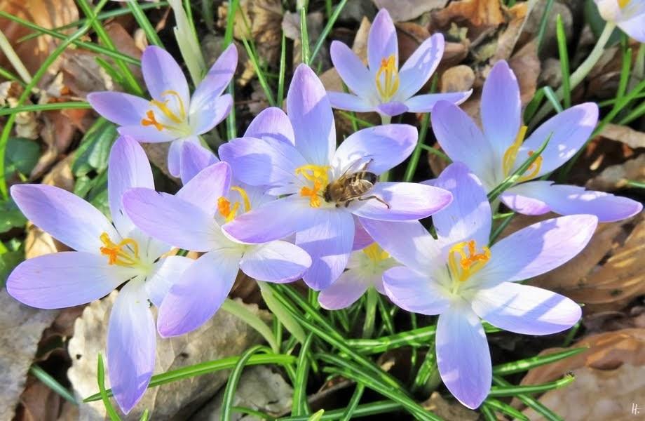 2019-02-16 LüchowSss nachmittags Elfen-Krokusse (5) mit Honigbiene