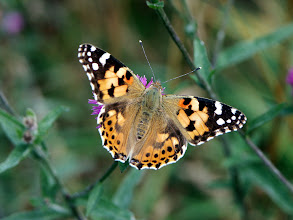 Photo: Painted Lady