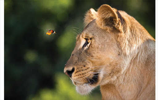 <b>July 2016 public choice winner: Wildlife Behaviour</b> - A magical moment as a butterfly comes eye to eye with a beautiful lion on the banks of the Chobe river, Botswana.