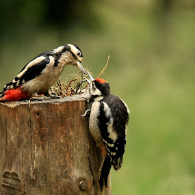 Woodpecker feeds youngster by Bob Has - Animals Birds ( youngster, feeding, woodpecker,  )
