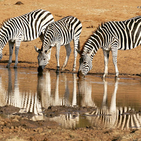 Reflections  by Sheila Grobbelaar - Animals Other Mammals (  )