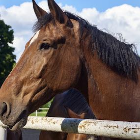 04. Stadnina w Wąsowie - spokojna twoja głowa by Marek Rosiński - Animals Horses ( horse, beautiful, beautiful horse, beauty in nature, horse portrait )