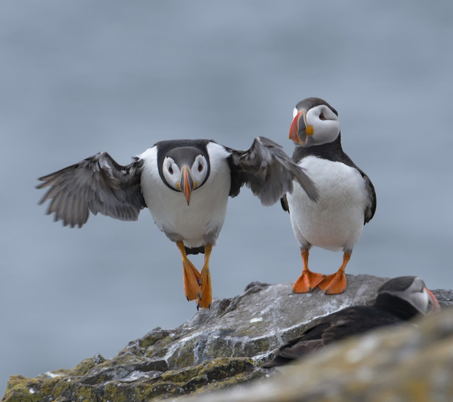 Take off by Marina Papas - Animals Birds ( animals, nature, wildlife, birds, puffin )