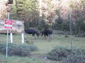Photo: More moose at Top of Cameron Pass!