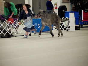 Photo: 4-28-2014 Franky with Zion for Irish Wolfhound Club of America Juniors Competition