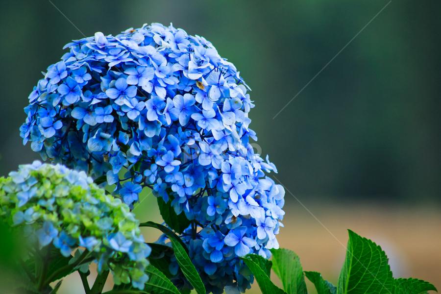 Blue flower by Acil Juventini - Nature Up Close Flowers - 2011-2013 ( park, nature, 2012, landscape, close up )
