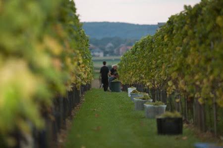 Druiven-oogst 2007  ( foto's Luk Collet)