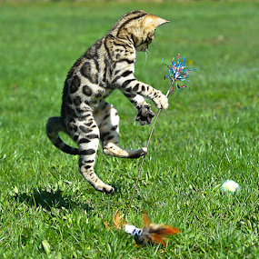 by Rob Ebersole - Animals - Cats Playing