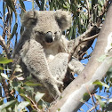Northern/Queensland Koala (Female)