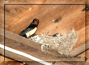 Photo: Ladusvala - Hirundo rustica - Barn swallow