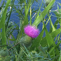 Common or bull thistle