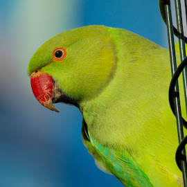 Rose Ringed Parakeet  by Nick Swan - Animals Birds ( nature, parakeet, parrot, wildlife )