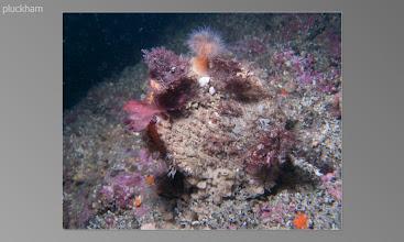 Photo: Anenome on Scallop shell