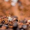 Indian/Jerdon's Jumping Ant