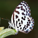 The Common Pierrot