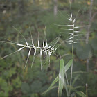 Eastern Bottlebrush Grass