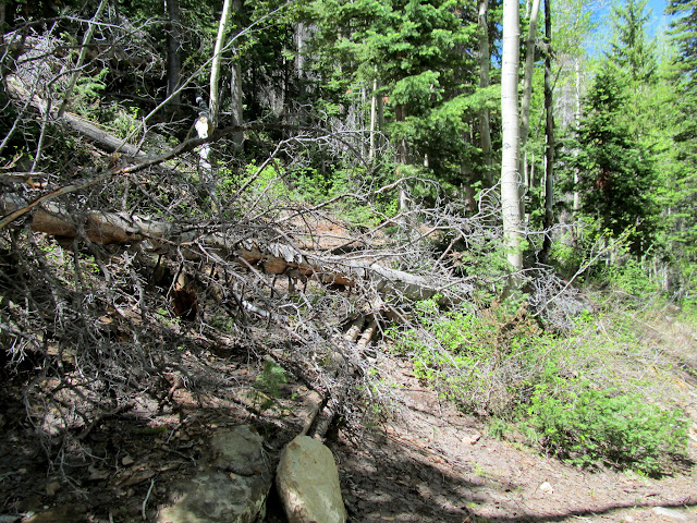 Fallen trees nearly obscuring a switchback