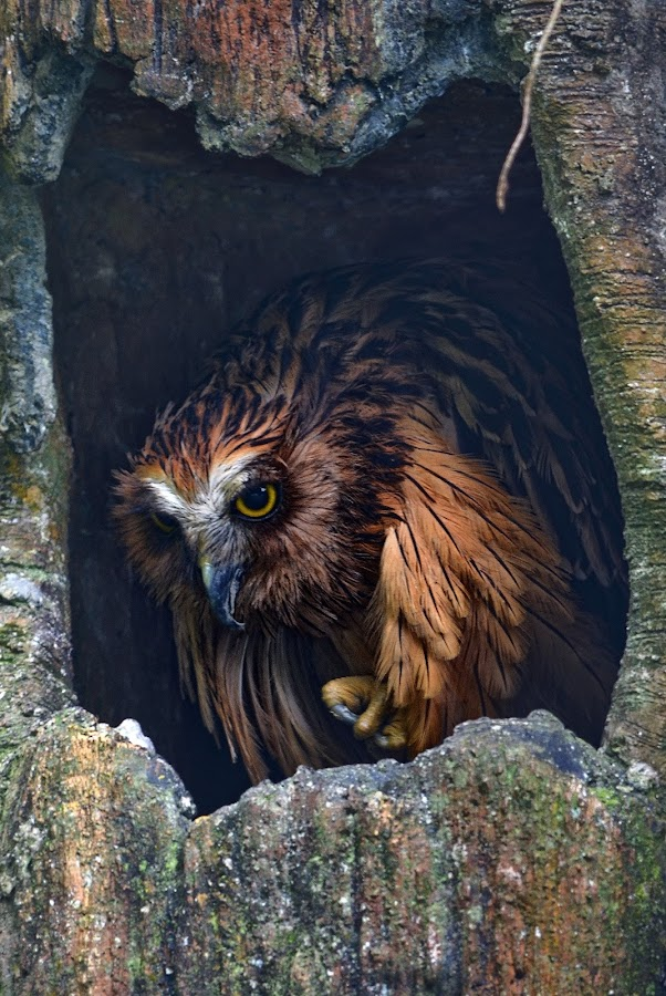 owl by Sudirman Sie - Animals Birds (  )